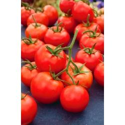 """Tomato """"Rumba Ozarowska"""" - early ripening field variety"""