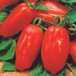 "BIO - Greenhouse tomato ""Marzano 2"" - certified organic seeds - 225 seeds"