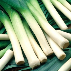 """Leek """"Juhas"""" - intended for autumn and late autumn harvest - 320 seeds"""