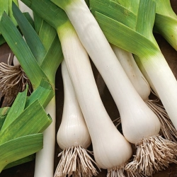 """Leek """"Titus"""" - for autumn harvest, direct sow possible - 320 seeds"""