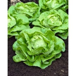 """Butterhead lettuce """"Athena"""" - for greenhouse cultivation - 900 seeds"""