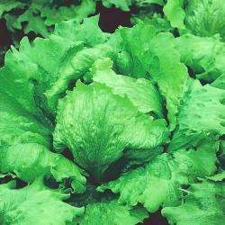 Jääsalat - Batavia - Kamelot - 450 seemned - Lactuca sativa L.
