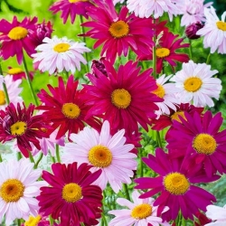 """Persian chrystanthemum """"Robinson"""" - variety mix; Pyrethrum daisy, Painted daisy, Persian insect flower, Persian pellitory, Caucasian insect powder plant - 180 seeds"""