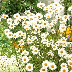 White chrysanthemum with single flowers
