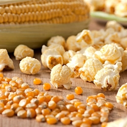 "Corn ""Jantar"" - pop-corn variety; maize"
