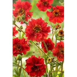 Scarlet avens, chilei avens, dupla véres mary - 135 mag - Geum chiloense - magok
