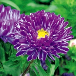 """Dark blue chinese aster """"Contraster"""" - 250 seeds"""
