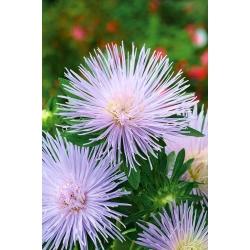 """Needle-petal aster """"Agnieszka"""" - light purple - 225 seeds"""