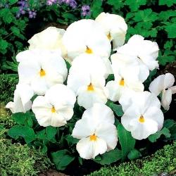 Árvácska fajták - Mont Blanc - fehér - 400 magok - Viola x wittrockiana