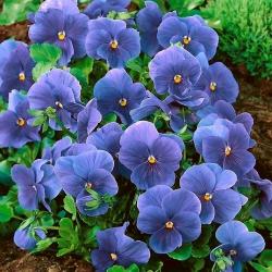 Hercai Menekşe Inspire Gerçek Mavi tohumları-Viola x wittrockiana-400 tohumları - Viola x wittrockiana