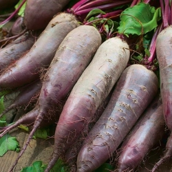 """Beetroot """"Kier"""" - cylindrical, long roots - 500 seeds"""