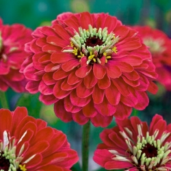 "Garden dahlia-flowered zinnia  ""Burnus"" - red-pink"