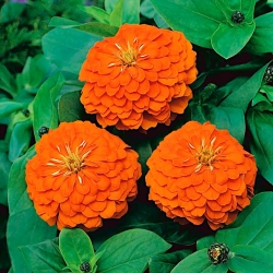 """Dahlia-kvetovaný spoločný zinnia """"Orange King"""" - 120 semien - Zinnia elegans dahliaeflora - semená"""