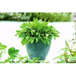 Koduaed - rakett, arugula - sise- ja rõdu kasvatamiseks - 200 seemet - Eruca sativa - seemned