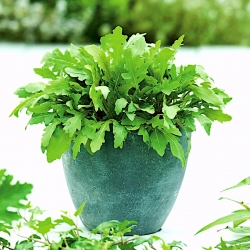 Home Garden - Rocket, Arugula - for indoor and balcony cultivation - 200 seeds