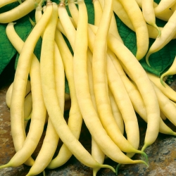 "Yellow French bean ""Polka - COATED SEEDS"