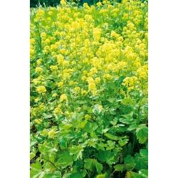 Горчица полевая - 5 кг - 650000 семена - Sinapis arvensis