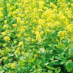 Mustard pengguna putih - 1 kg - 130000 biji - Sinapis arvensis - benih