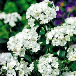 "White Sweet William ""Albus"" - 450 seeds"