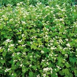 Buckwheat - 1 kg - Fagopyrum esculentum - benih