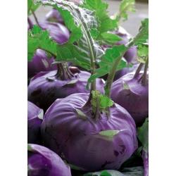 بذور Kohlrabi Alka أرجوانية - Brassica oler convar. اسفالا فار. gongylodes - 520 البذور - Brassica oleracea var. Gongylodes L. - ابذرة