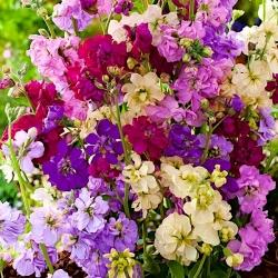 Stock 'Mixed Colours' seeds - Matthiola incana annua - 300 seeds