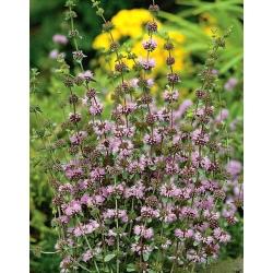 Pennyroyal; Pennyrile, Squaw mint - 1500 seemnet - Mentha longifolia - seemned