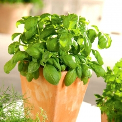 Mini garden - Green basil - for balcony and terrace cultures