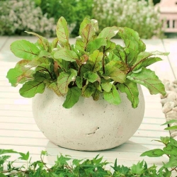 Mini garden - Mangold (beet) for fresh, cut leaves - for balcony and terrace cultures