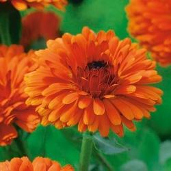 Календула лекарственная - Indian Prince - 240 семена - Calendula officinalis