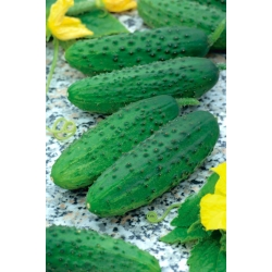 """Cucumber """"Sheriff F1"""" - field, very early and highly productive pickling variety - 175 seeds"""