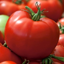 """Tomato """"Hardy"""" - for greenhouse and under cover cultivation, produces large, durable fruit"""