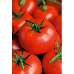 """Tomato """"Flame"""" - field, medium early, rapidly growing variety"""