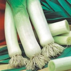 """Leek """"Tango"""" - thick pseudostems, resistant to frost up to -10°C - 320 seeds"""