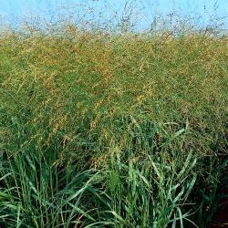 Prosa - dzeltens - 1 kg - Panicum miliaceum - sēklas