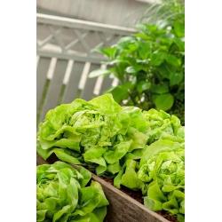 """کاهو بادام زمینی """"Justyna"""" - انواع زودرس - SEED TAPE - Lactuca sativa L.  - دانه"""