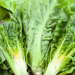 """Romaine lettuce """"Livia"""""""