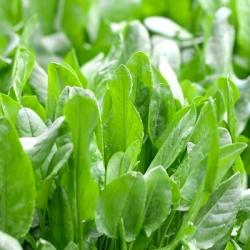 Sorrel seeds - Rumex acetosa - 1600 seeds