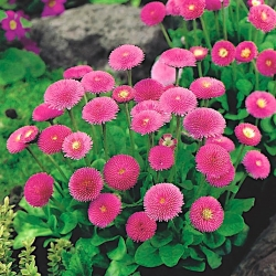 Pink English Daisy seeds - Bellis perennis - 690 seeds