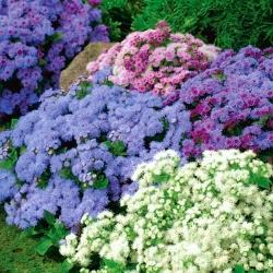 Agerantum, Floss Çiçek tohumları - Ageratum houstonianum Mill. - 4750 tohum