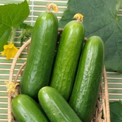 """Cucumber """"Iwa"""" - for cultivation under covers - 35 seeds"""
