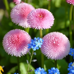 Pink daisy + forget-me-not - seeds of 2 species