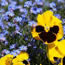 Large-flowered garden pansy + blue forget-me-not - a set of seeds of two flower species