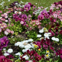 Large-flowered garden pansy + large-flowered daisy - a set of seeds of two flower species