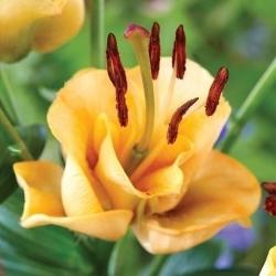 Ázijské ľalia - marhuľový Fudge - Lilium Asiatic Apricot Fudge