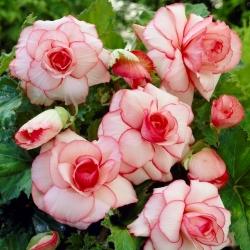 بيجونيا أبيض وردي - Picotee White - قطعتان -