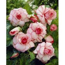 White-pink begonia - Picotee White - 2 pieces