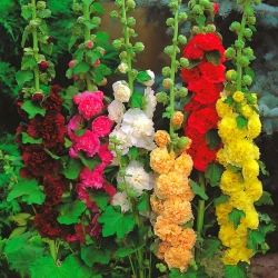 Alcea، Hollyhocks Rosea Mix - لمبة / درنة / جذر - Althaea rosea