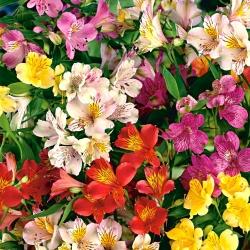 Alstroemeria, lily Peru, Lily of the Incas Mix - củ / củ / rễ