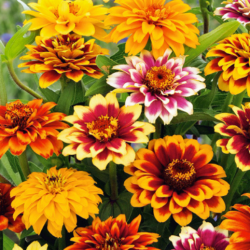 "Narrow-leaved zinnia ""Persian Carpet"" - variety mix - 540 seeds"